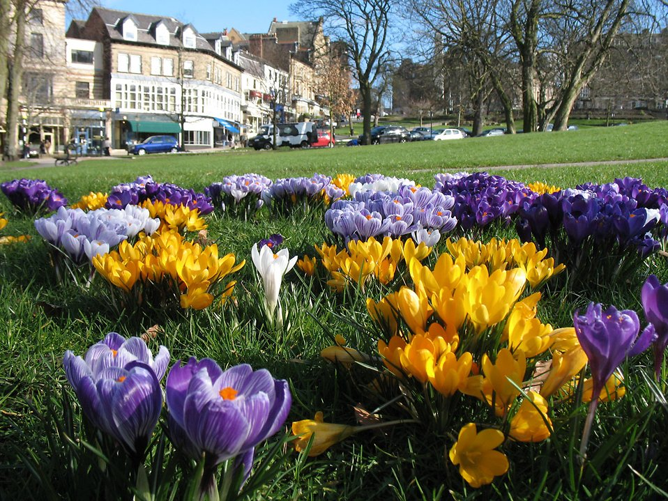 Crocuses in a park : Free Stock Photo