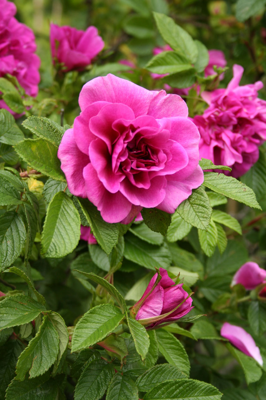 A purple rose on a bush : Free Stock Photo