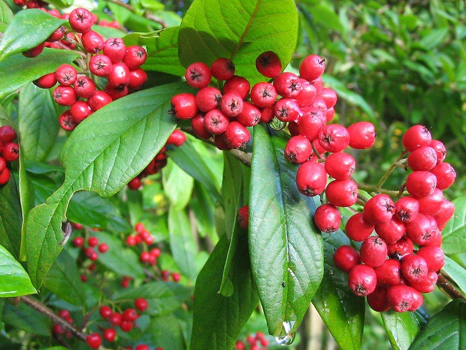 Scarlet firethorn berries : Free Stock Photo