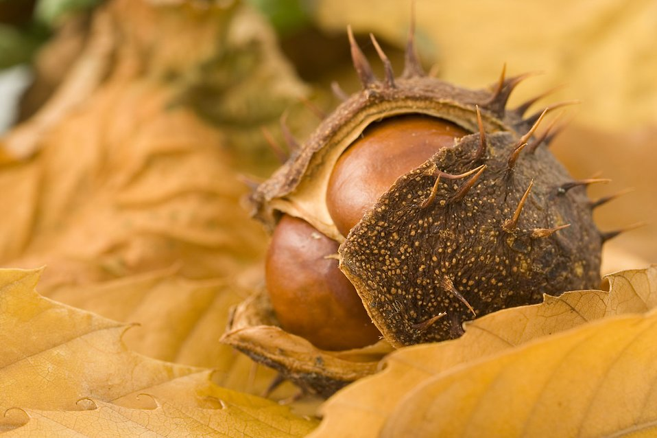 Close-up of a chestnut : Free Stock Photo