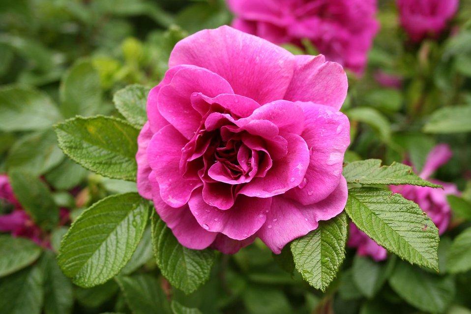 A purple rose on a bush : Free Stock Photo