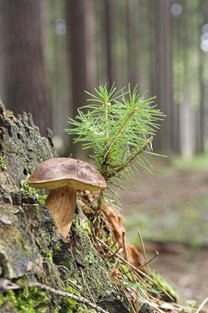 A wild brown mushroom in the woods : Free Stock Photo