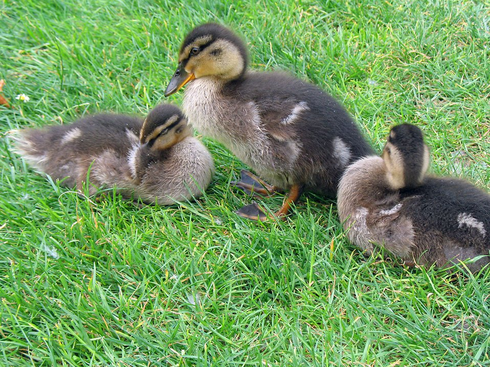 A duck with ducklings in the grass : Free Stock Photo