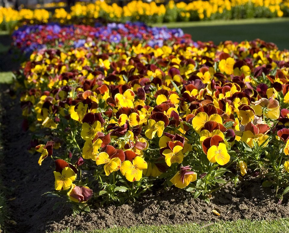A large bunch of yellow pansies : Free Stock Photo