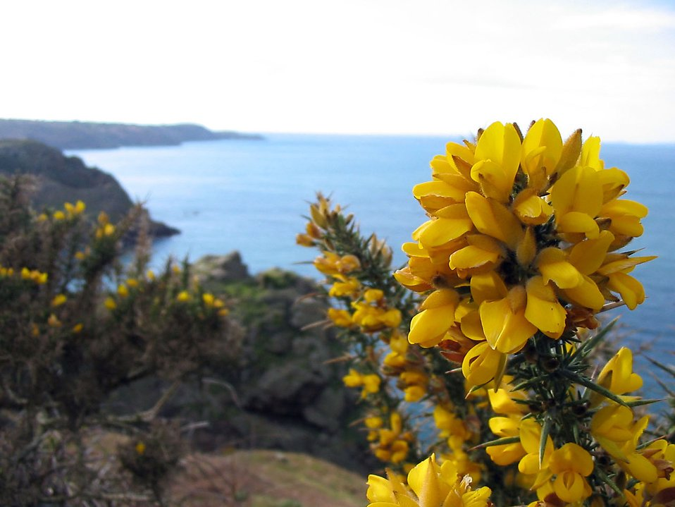 Yellow flowers by the coast : Free Stock Photo