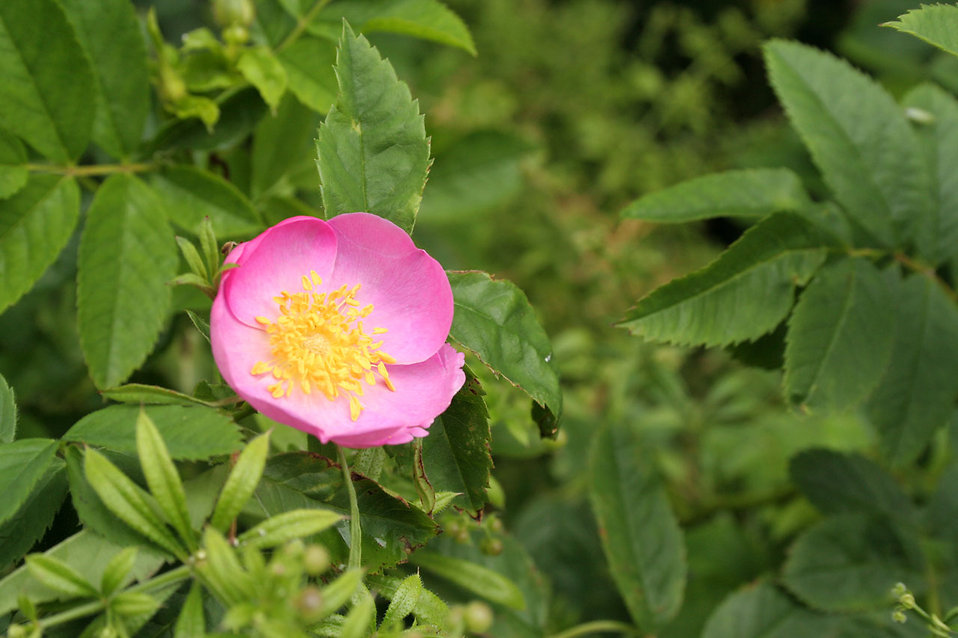 A wild pink rose : Free Stock Photo