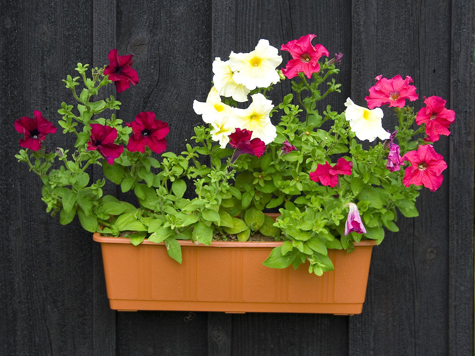 Petunias in a flower pot : Free Stock Photo
