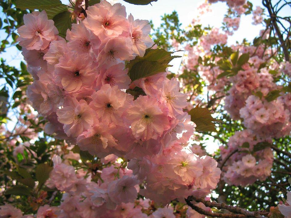 Pink Japanese flowering cherry flowers : Free Stock Photo