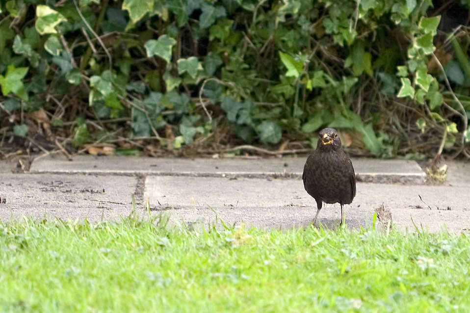 A blackbird standing by a path : Free Stock Photo
