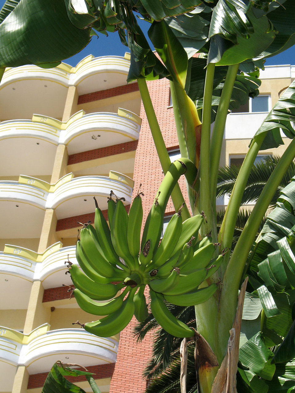 Bananas growin in a tree by a resort : Free Stock Photo