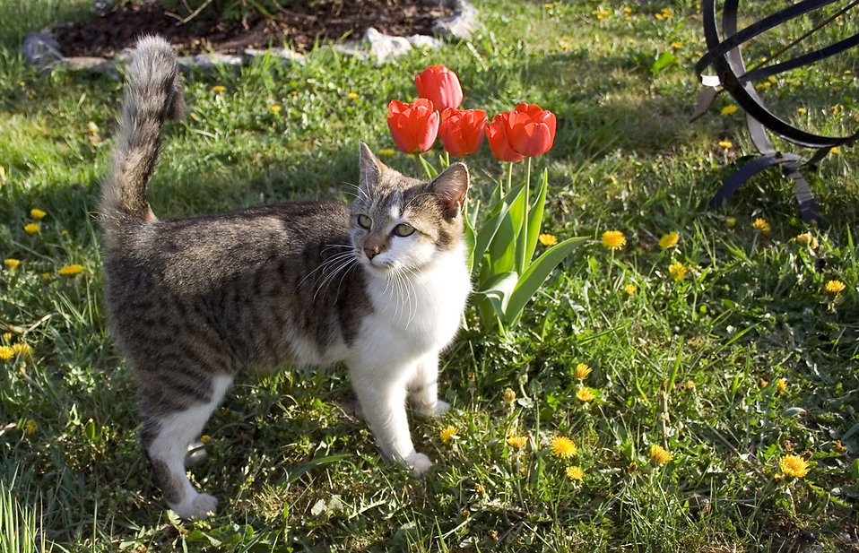 A cat standing by red tulips : Free Stock Photo