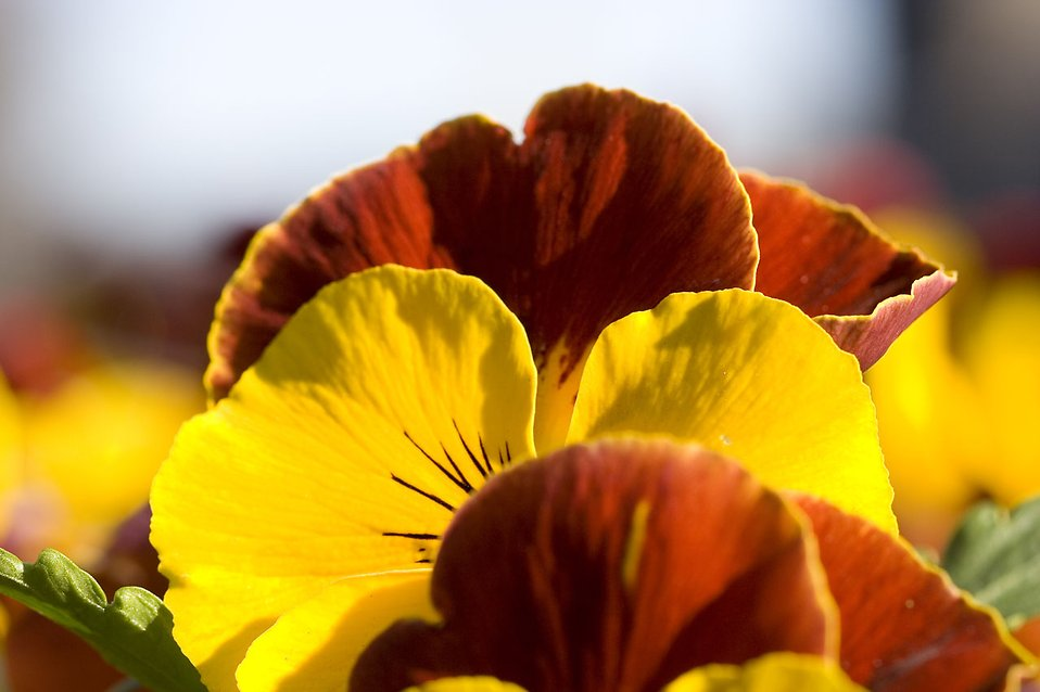 Red and yellow pansies : Free Stock Photo
