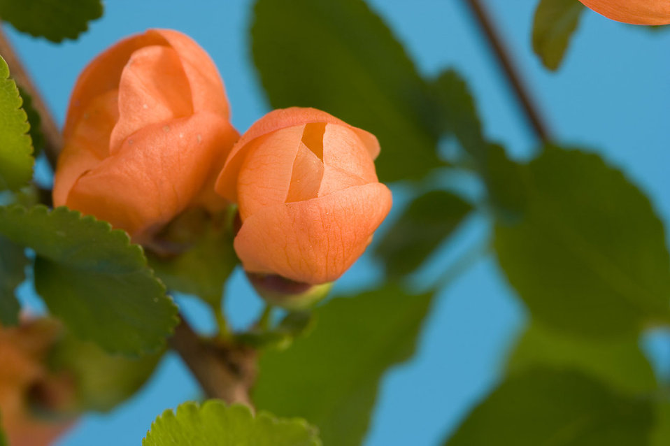 Orange flower buds : Free Stock Photo