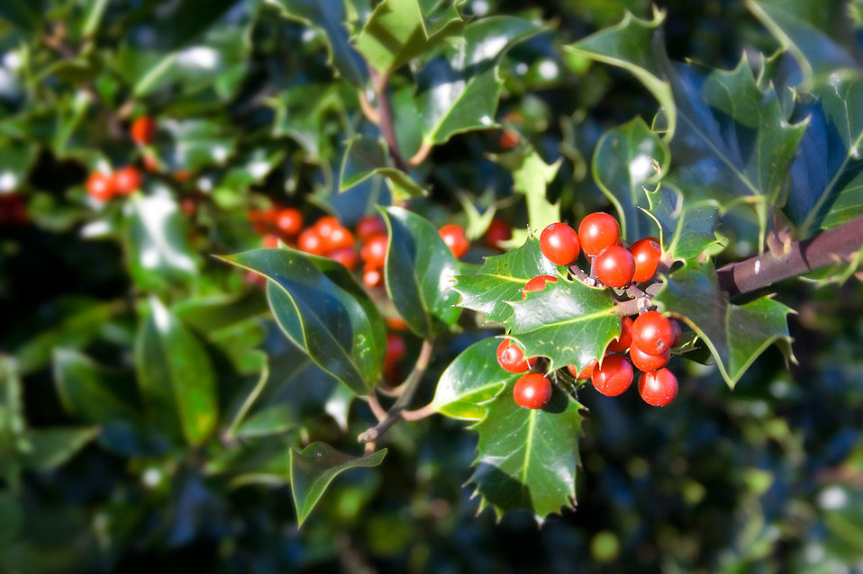A holly bush.