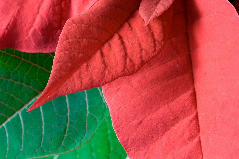 Close-up of a poinsettia leaf : Free Stock Photo