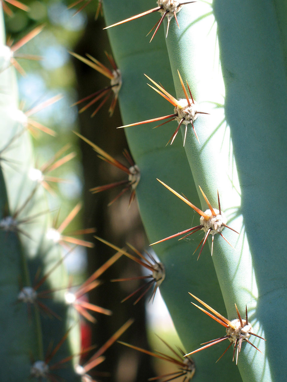 Close-up of thorns : Free Stock Photo