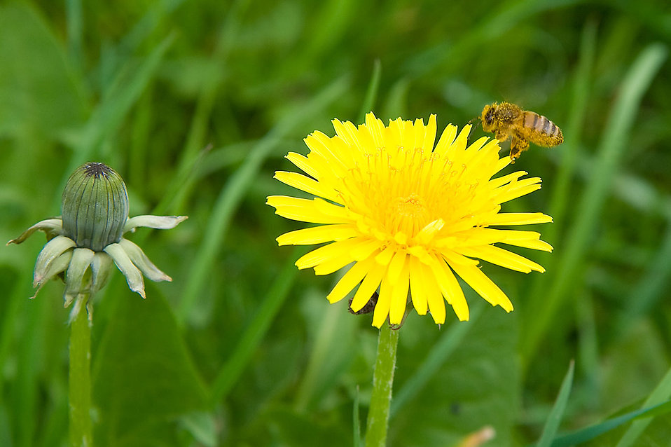 A bee on a yellow dandelion : Free Stock Photo