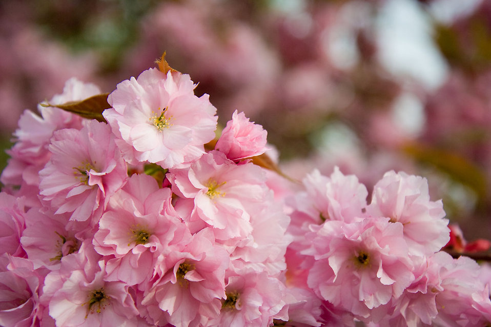 Japanese flowering cherry in blossom : Free Stock Photo