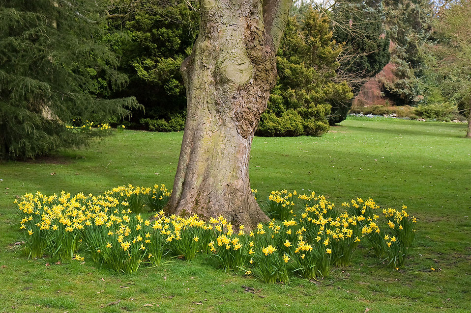 Yellow daffodils around the base of a tree : Free Stock Photo