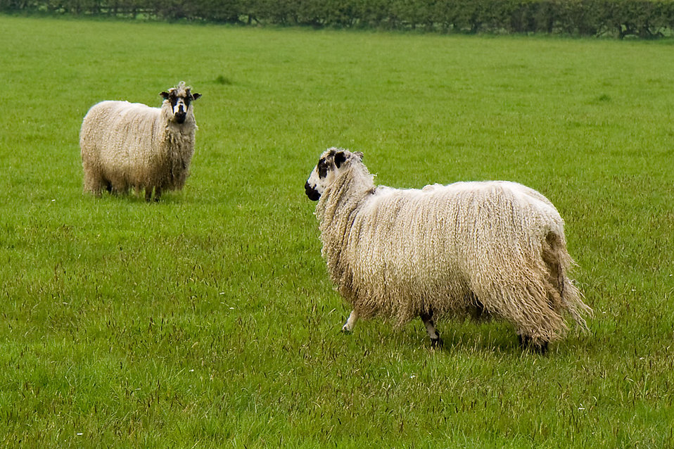 Sheep Free Stock Photo Sheep In A Field 8198