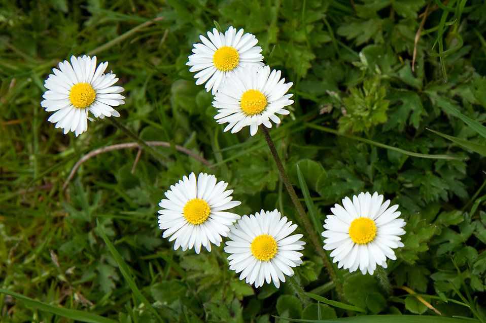 Small white daisies : Free Stock Photo