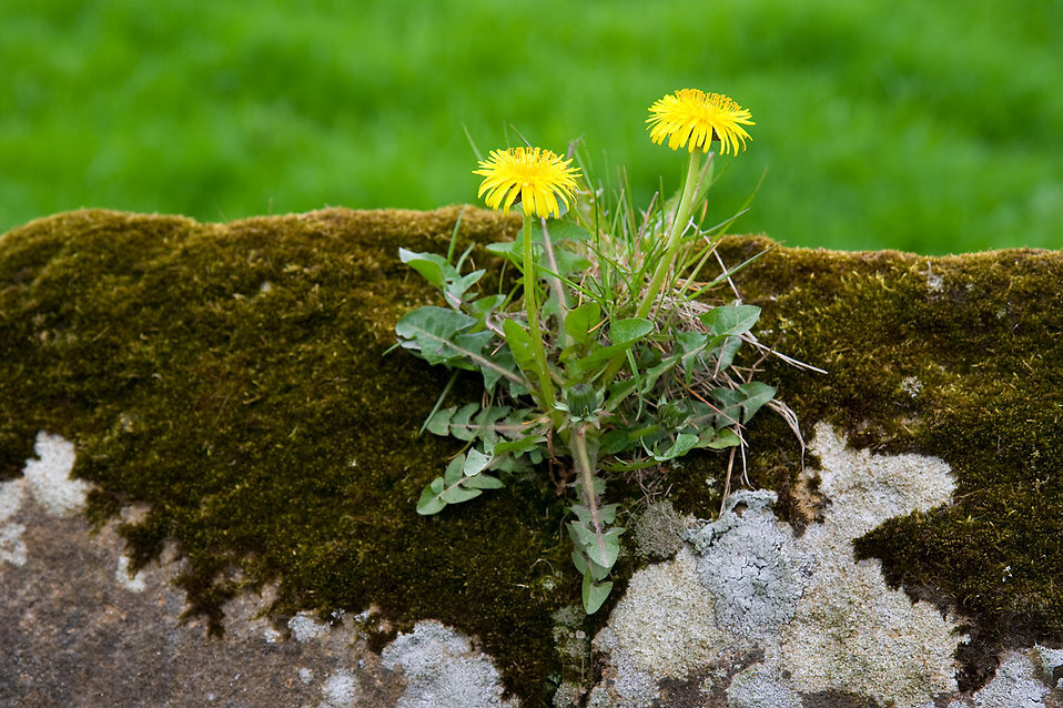 Two yellow dandelions : Free Stock Photo