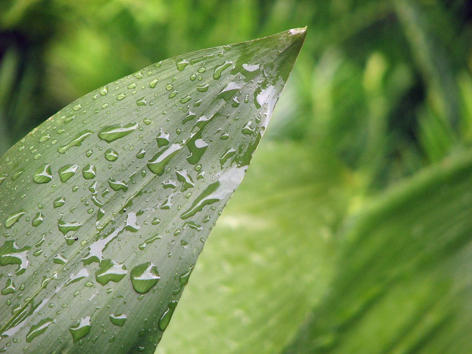 Close-up of a large green leaf with rain drops : Free Stock Photo