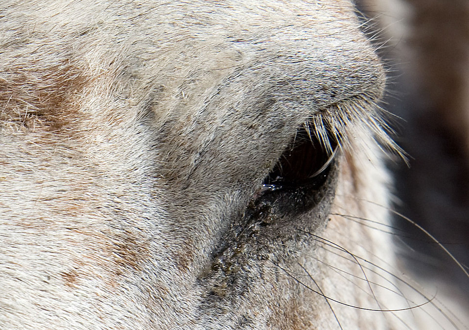 Close up of the eye of a horse : Free Stock Photo