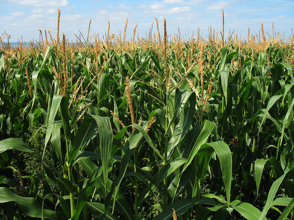 Tall corn growing in a field : Free Stock Photo
