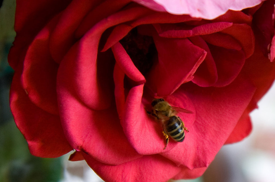 A bee in a red rose : Free Stock Photo