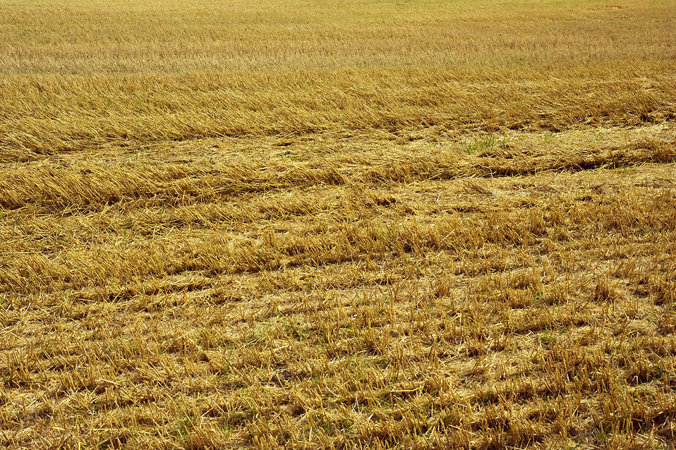 A dried field : Free Stock Photo