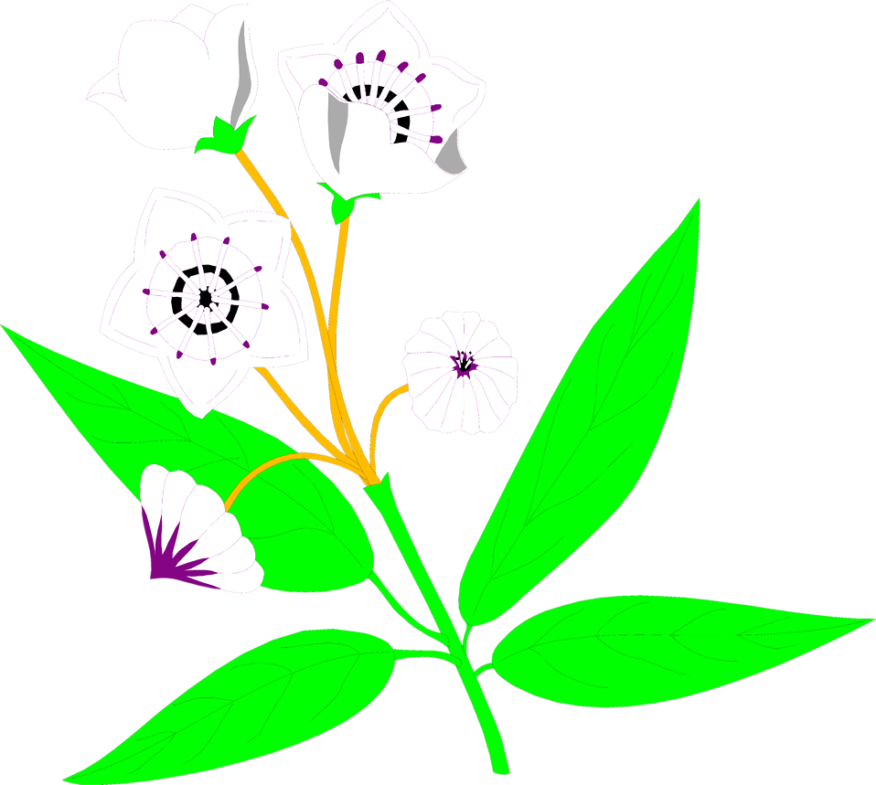 Illustration of white mountain laurel flowers : Free Stock Photo