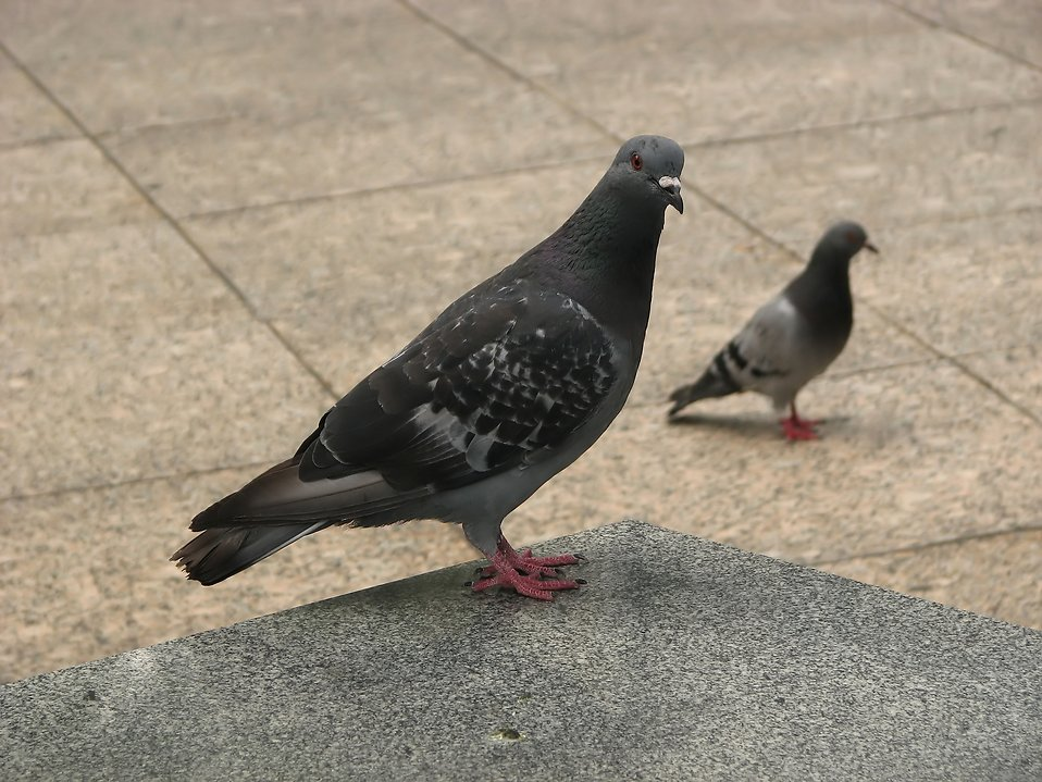 Pigeons on a sidewalk : Free Stock Photo