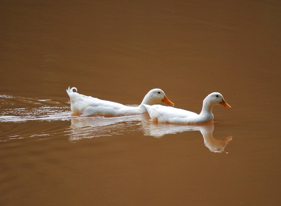 Two white ducks swimming in a muddy lake : Free Stock Photo