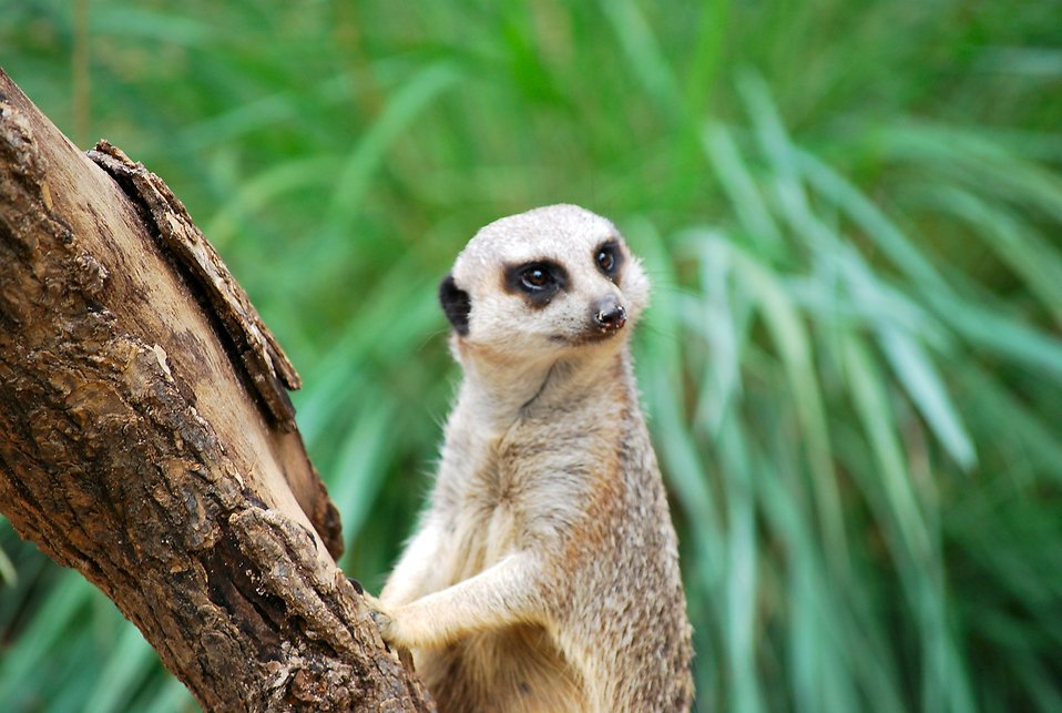 A meerkat standing by a tree branch : Free Stock Photo