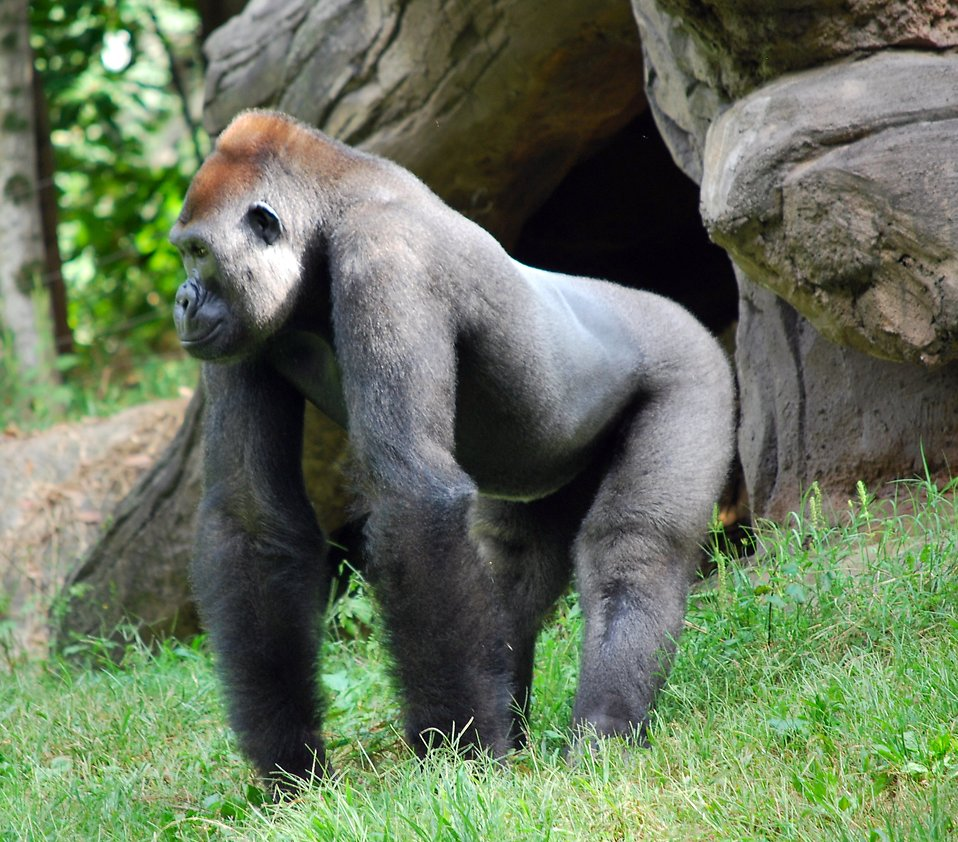 A large gorilla standing in the grass by a cave : Free Stock Photo