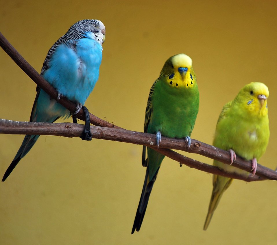 Green and blue parakeets perched on a branch : Free Stock Photo
