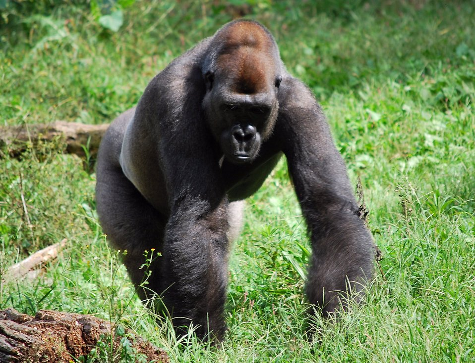 A large gorilla walking in the grass : Free Stock Photo