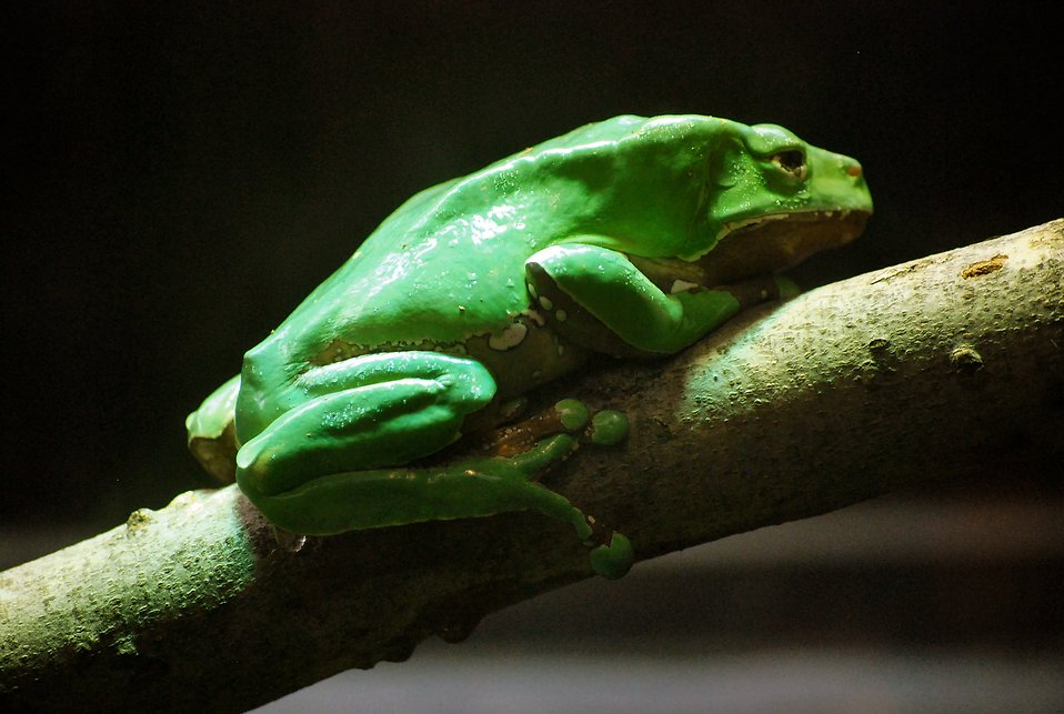 Close-up of a green giant monkey frog on a branch : Free Stock Photo