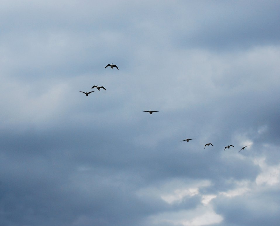 A flock of geese flying in the sky.