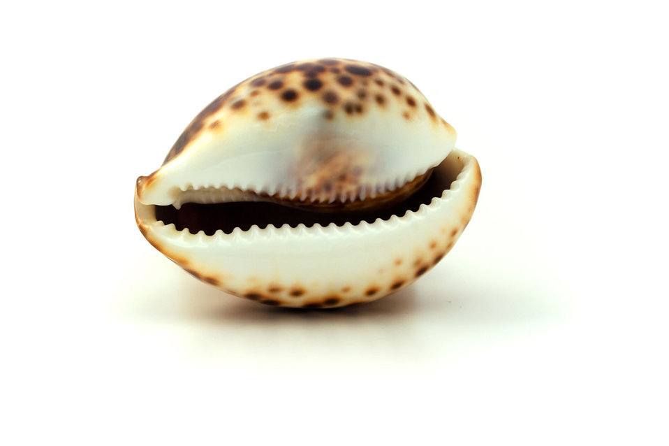 A sea shell isolated on a white background : Free Stock Photo