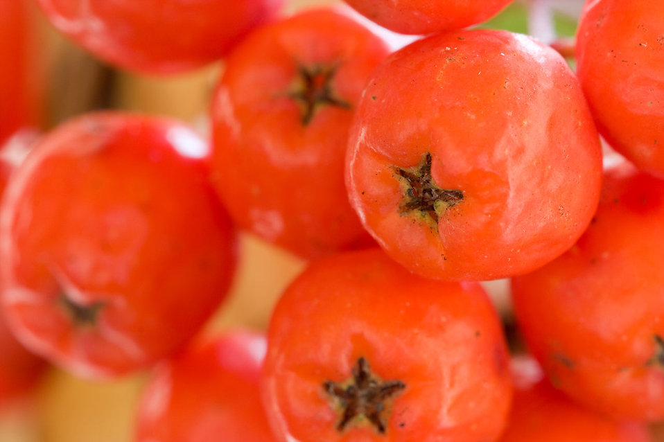 Close-up of red rowanberries : Free Stock Photo
