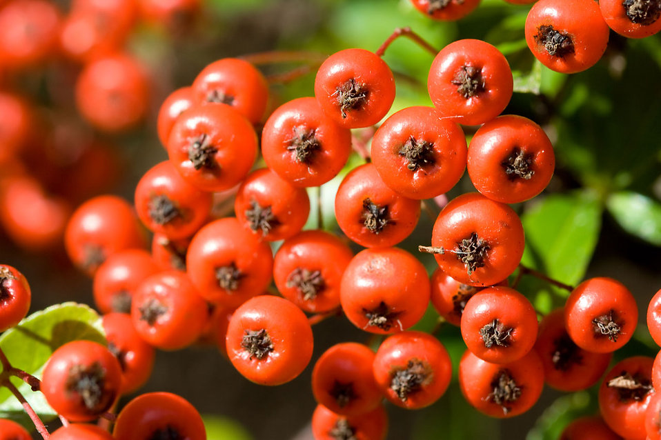 Close-up of firethorn pyracantha berries : Free Stock Photo