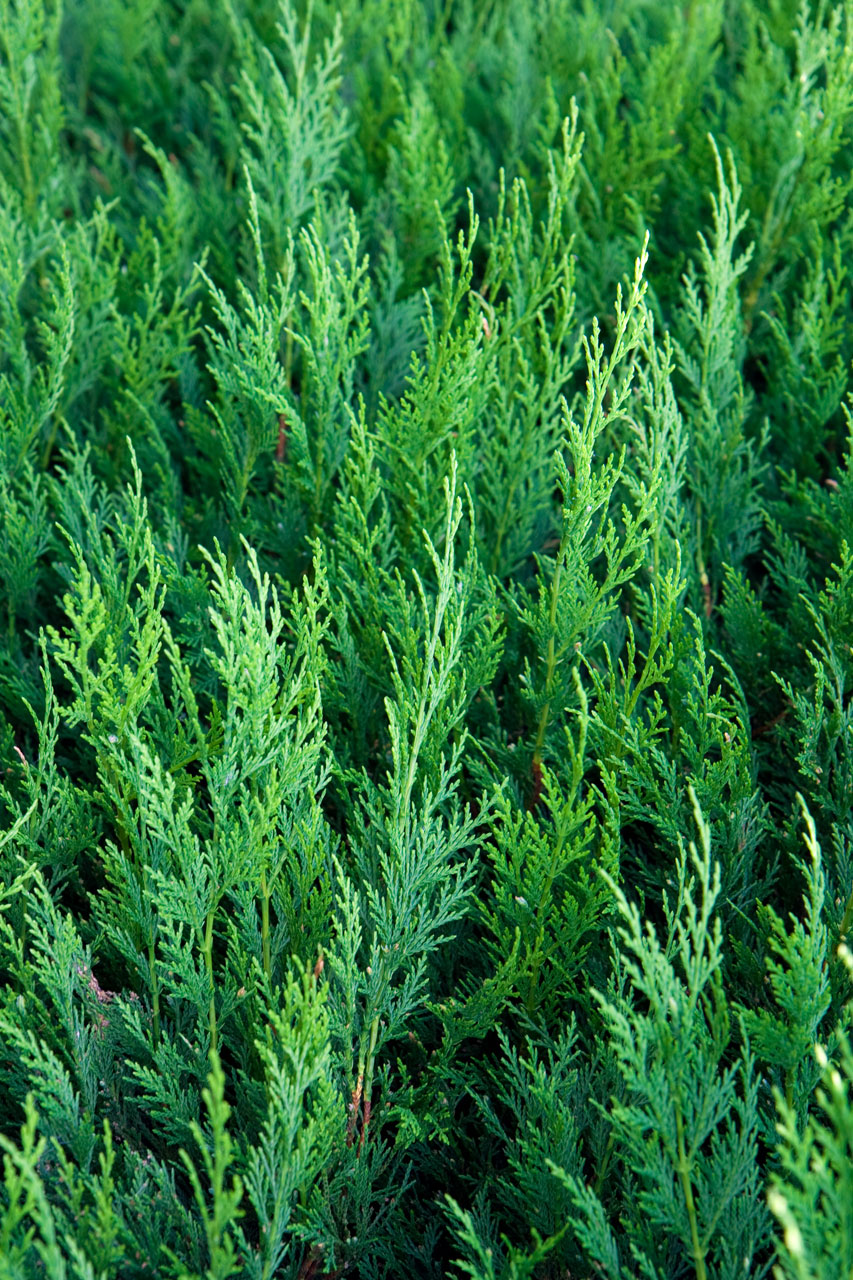 Green thuja : Free Stock Photo