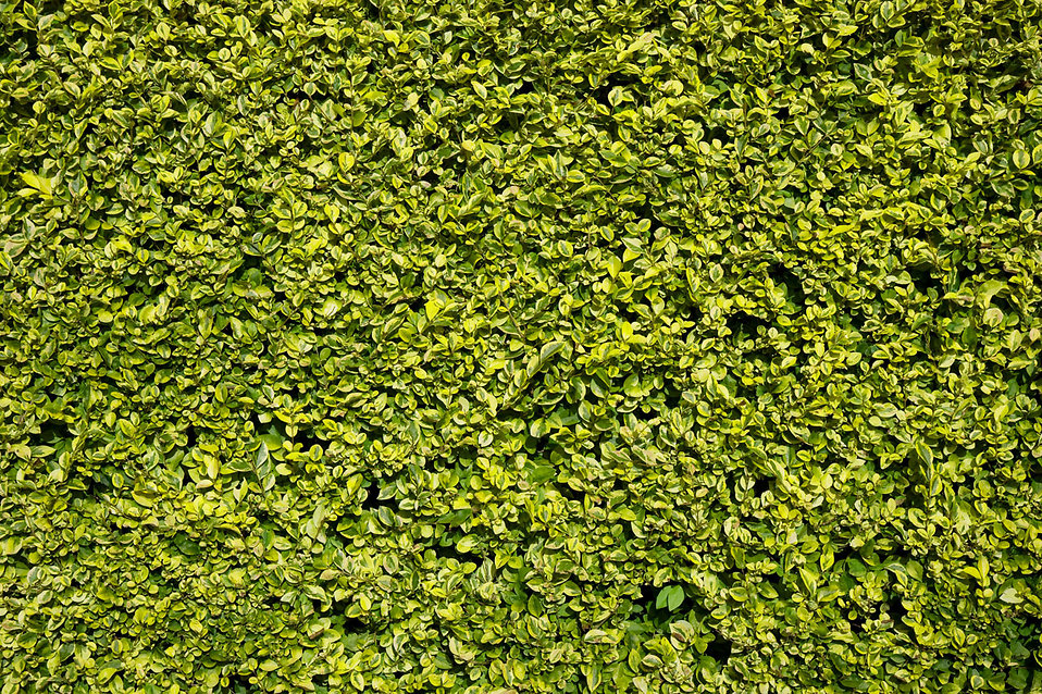 Close-up of a green hedge : Free Stock Photo