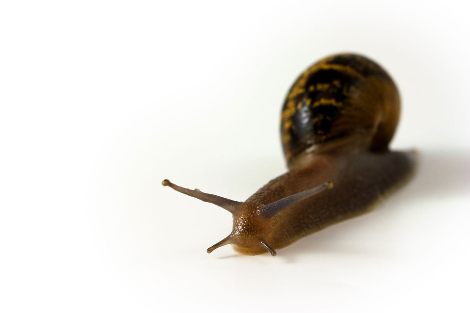 A snail isolated on a white background : Free Stock Photo