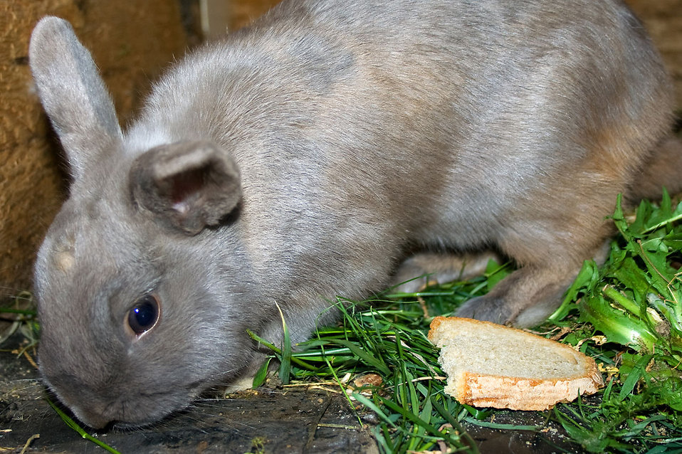 A tiny rabbit eating grass : Free Stock Photo