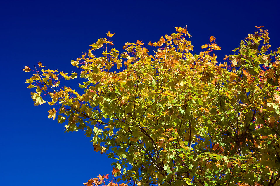 Autumn leaves on a tree : Free Stock Photo