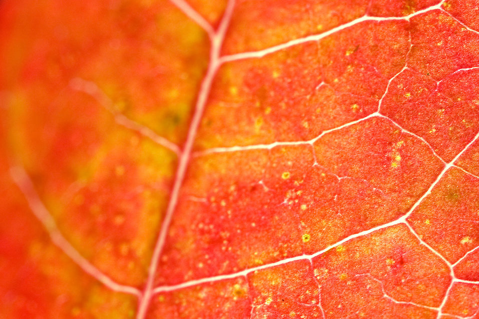 Close-up of a red leaf : Free Stock Photo
