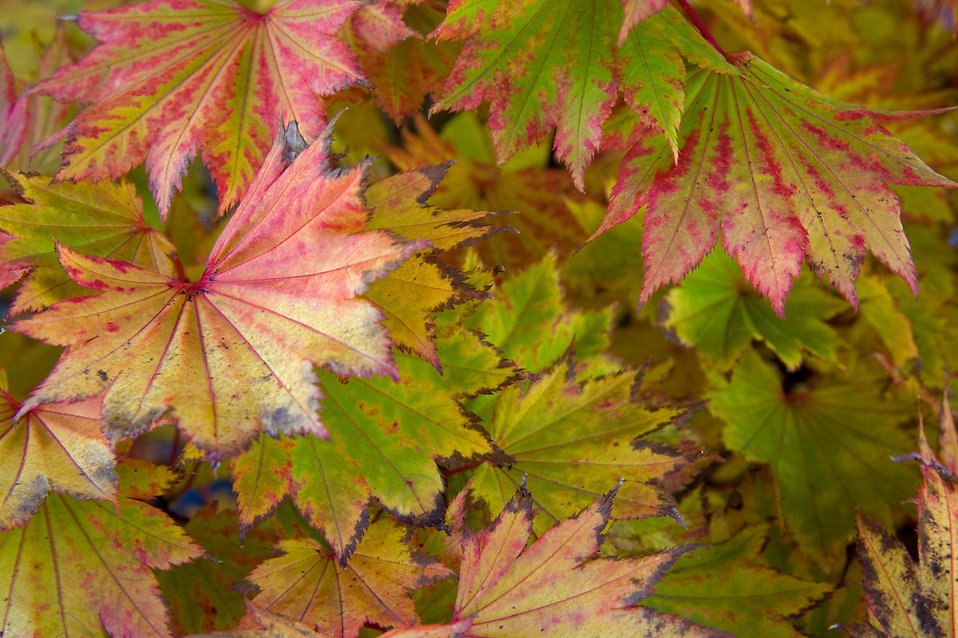 Colorful autumn leaves : Free Stock Photo